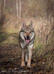 Волчак