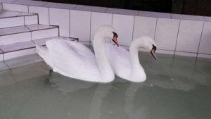 Лебеди на свадьбу