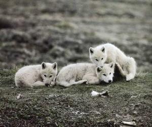 arctic-wolf4