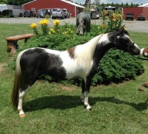 миниатюрная лошадь