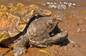 О грифовых черепахах