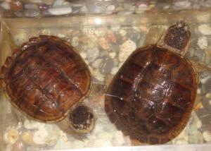 каймановые черепахи (1)
