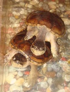 каймановые черепахи (2)