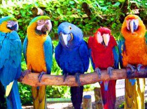 Виды попугаев - ара