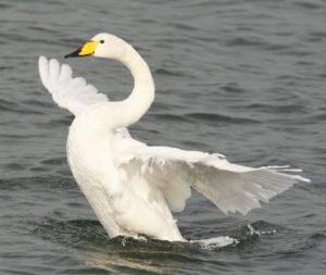 Породы лебедей. Лебедь-кликун