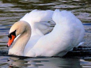 Породы лебедей. Лебедь-шипун