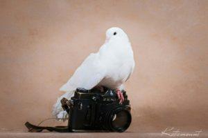 голуби в аренду - 8(916)702-11-08