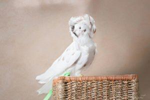 голубь Якобин