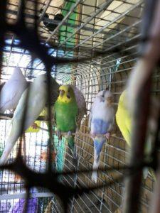 волнистые попугаи - 8916 702-11-08