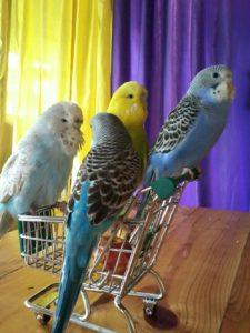 волнистые попугаи 8(916)702-11-08