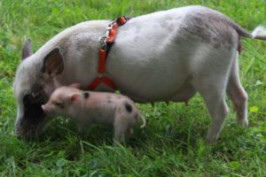 mini-pig-3