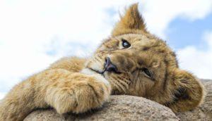 Четвероногая модель, львица